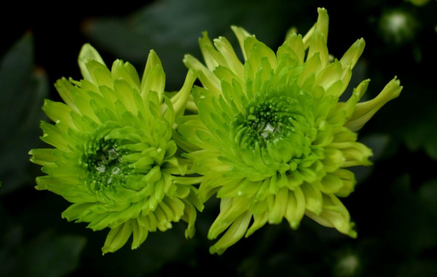 绿色菊花_图1-9