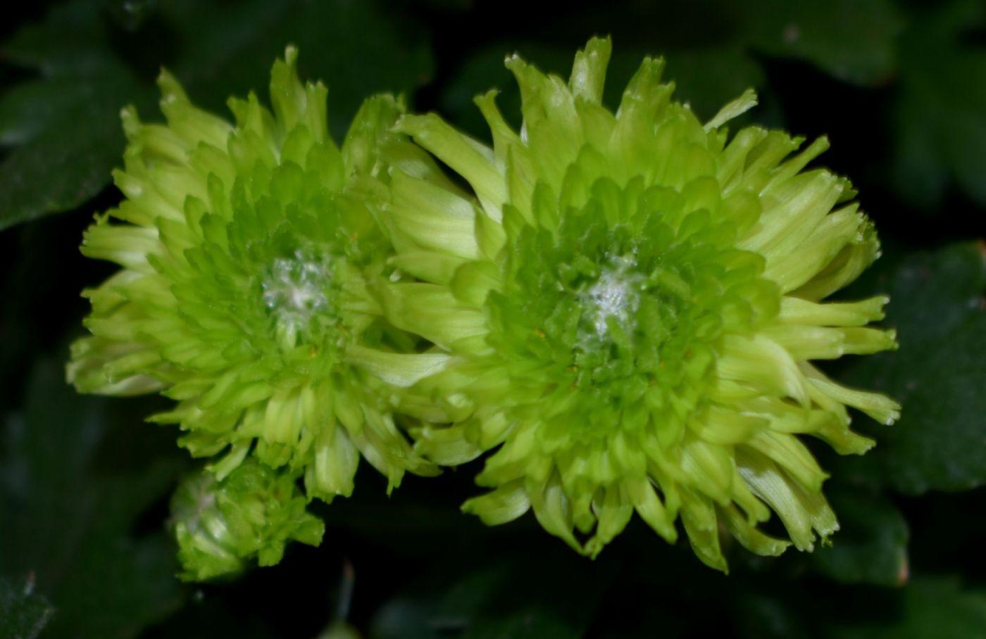 绿色菊花_图1-10