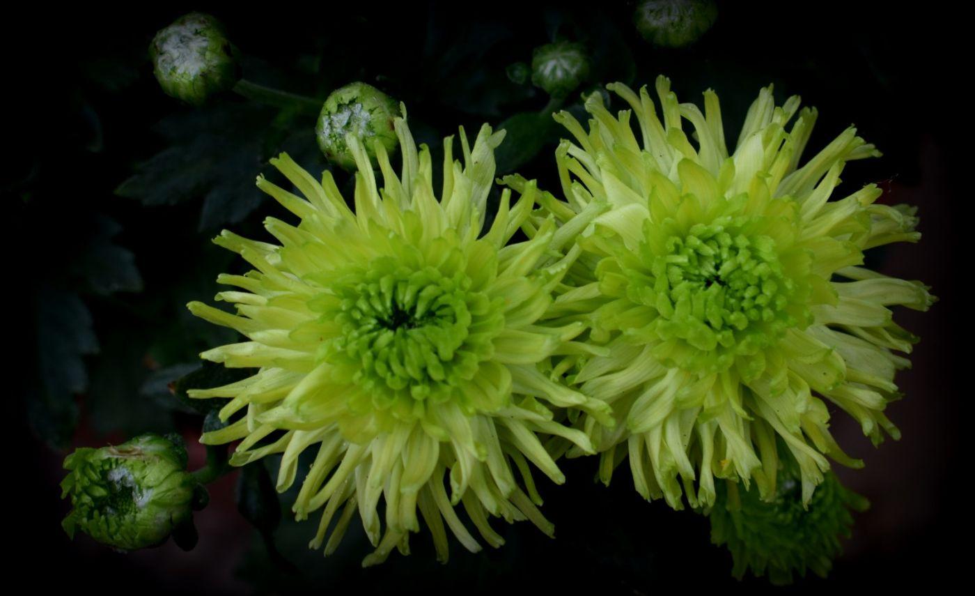 绿色菊花_图1-11