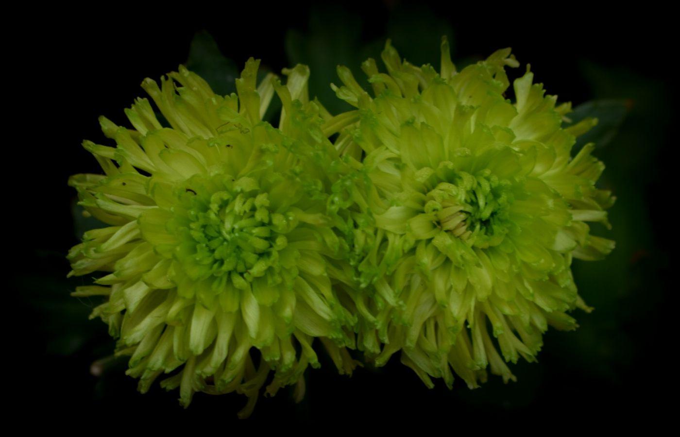 绿色菊花_图1-12