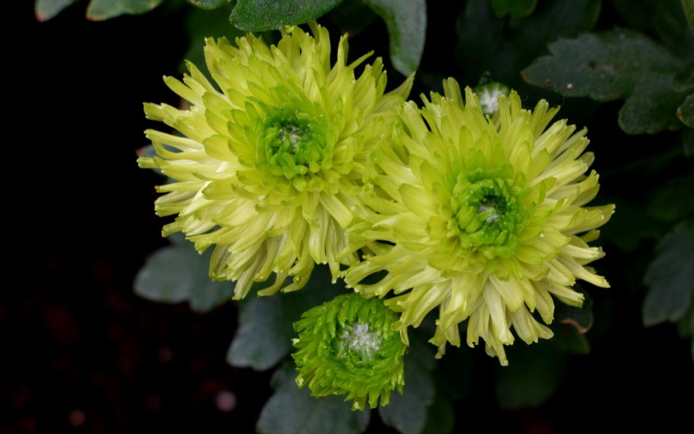 绿色菊花_图1-14