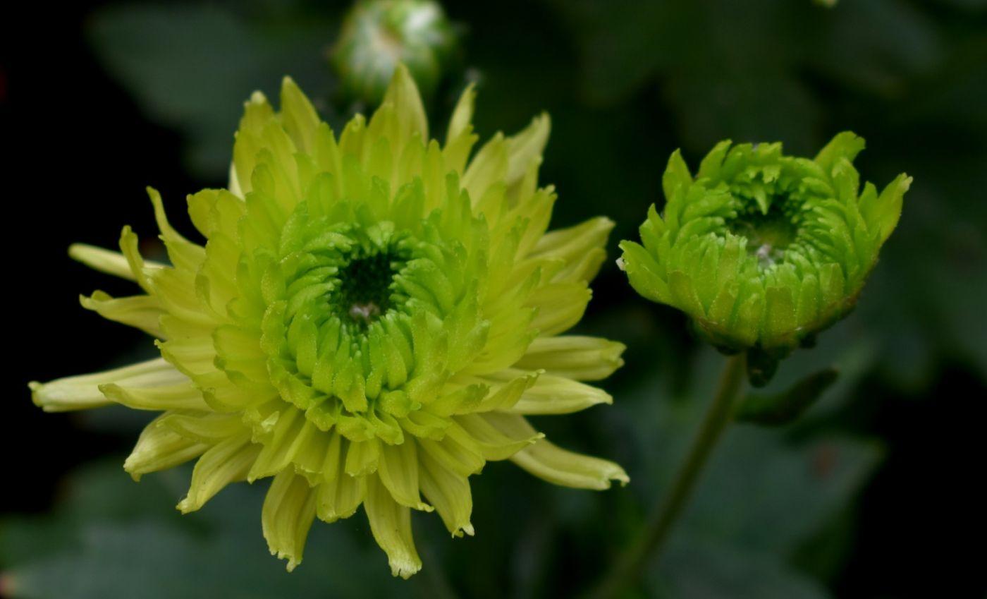 绿色菊花_图1-15