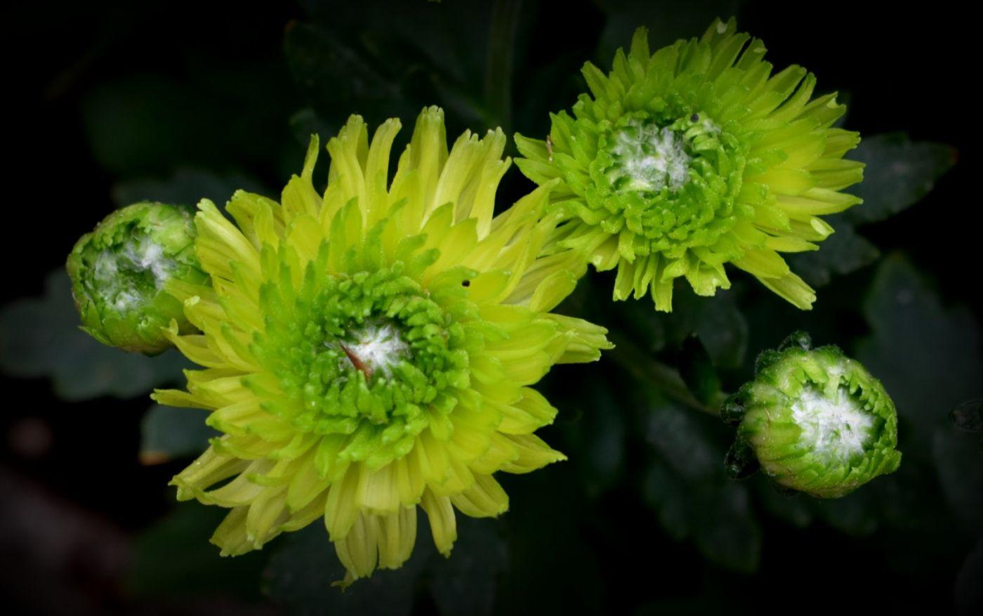 绿色菊花_图1-16