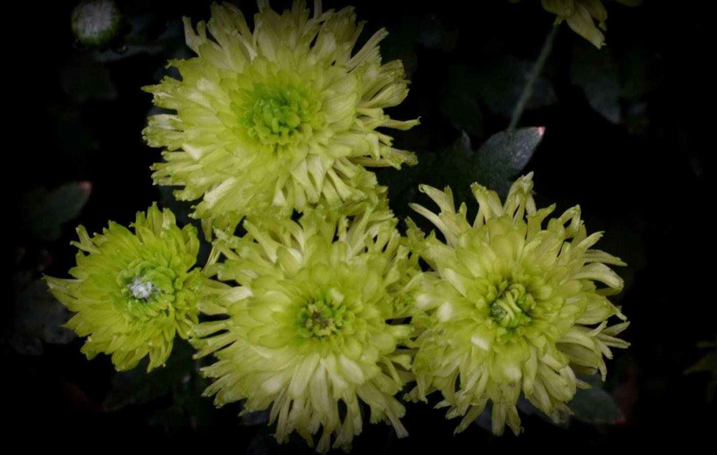 绿色菊花_图1-18