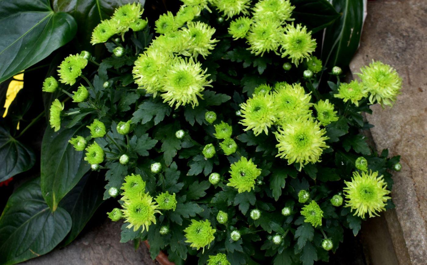 绿色菊花_图1-19