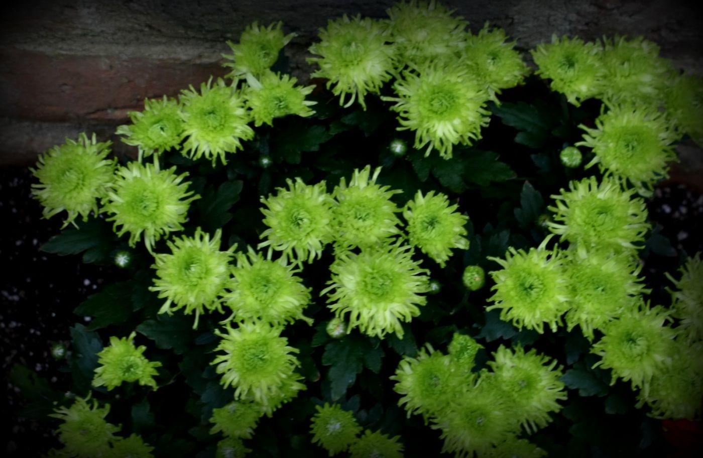 绿色菊花_图1-20