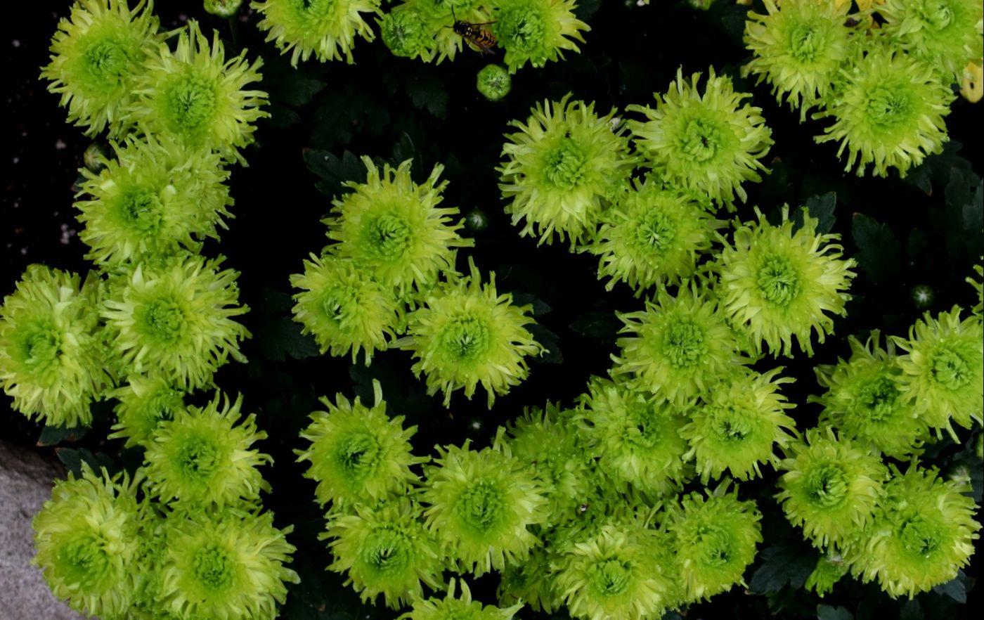 绿色菊花_图1-22