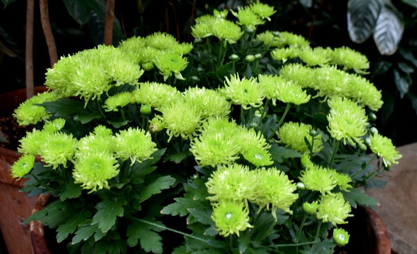 绿色菊花_图1-23