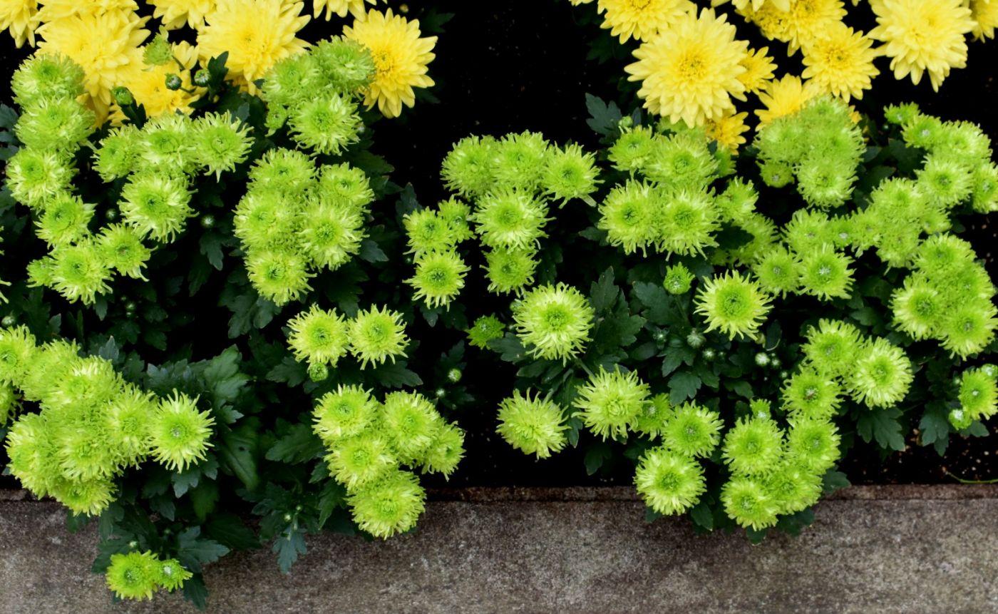 绿色菊花_图1-24