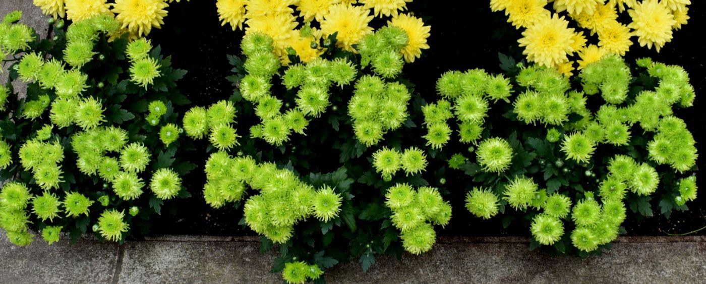 绿色菊花_图1-25