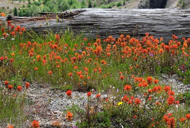 Vista Ridge Trail 步道-野花丛生_图1-28