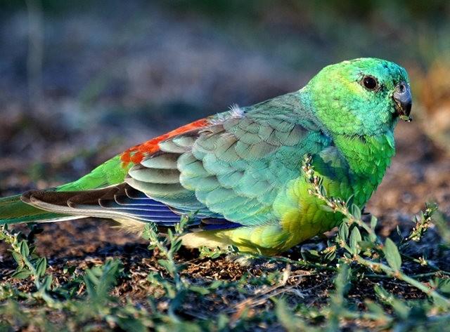 绿鹦鹉_图1-1
