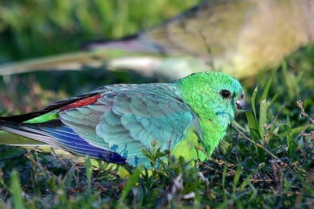 绿鹦鹉_图1-2