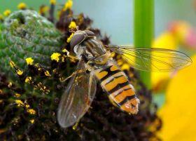 2018 食蚜蝇与蜜蜂
