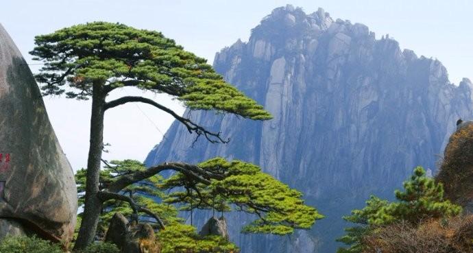 中国最值钱的一颗树:花上亿元买保险日夜有警卫保护,大红袍黄山迎客松副国级待遇 ... . ..._图1-5