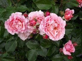 玛丽玫瑰园