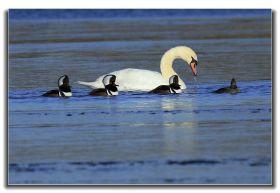 牙买加野生动物保护区拍天鹅及