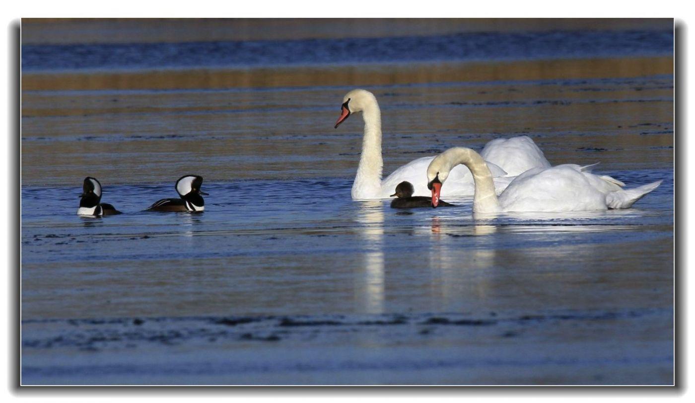 牙买加野生动物保护区拍天鹅及水鸟_图1-2