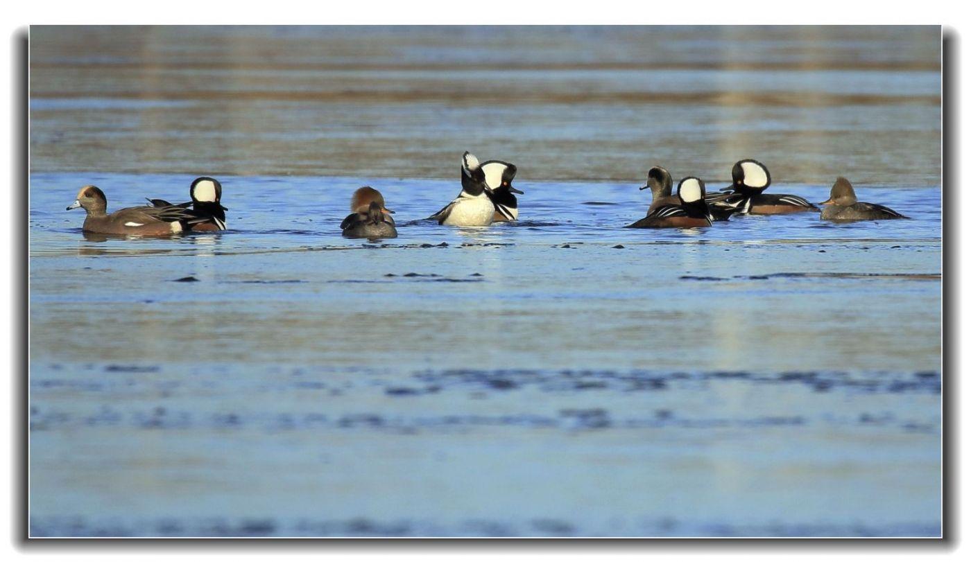 牙买加野生动物保护区拍天鹅及水鸟_图1-3