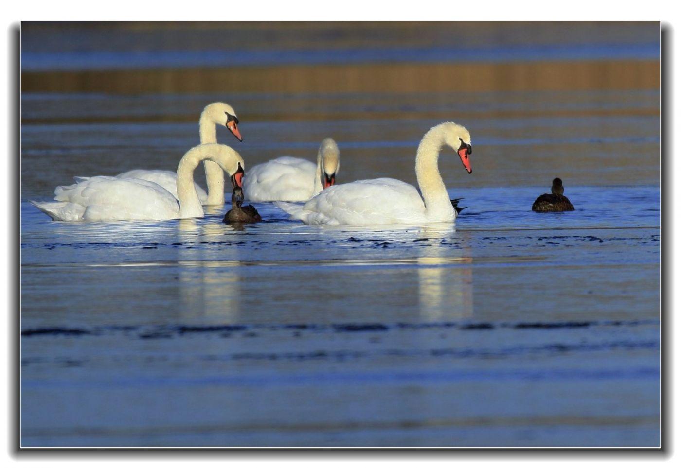 牙买加野生动物保护区拍天鹅及水鸟_图1-4