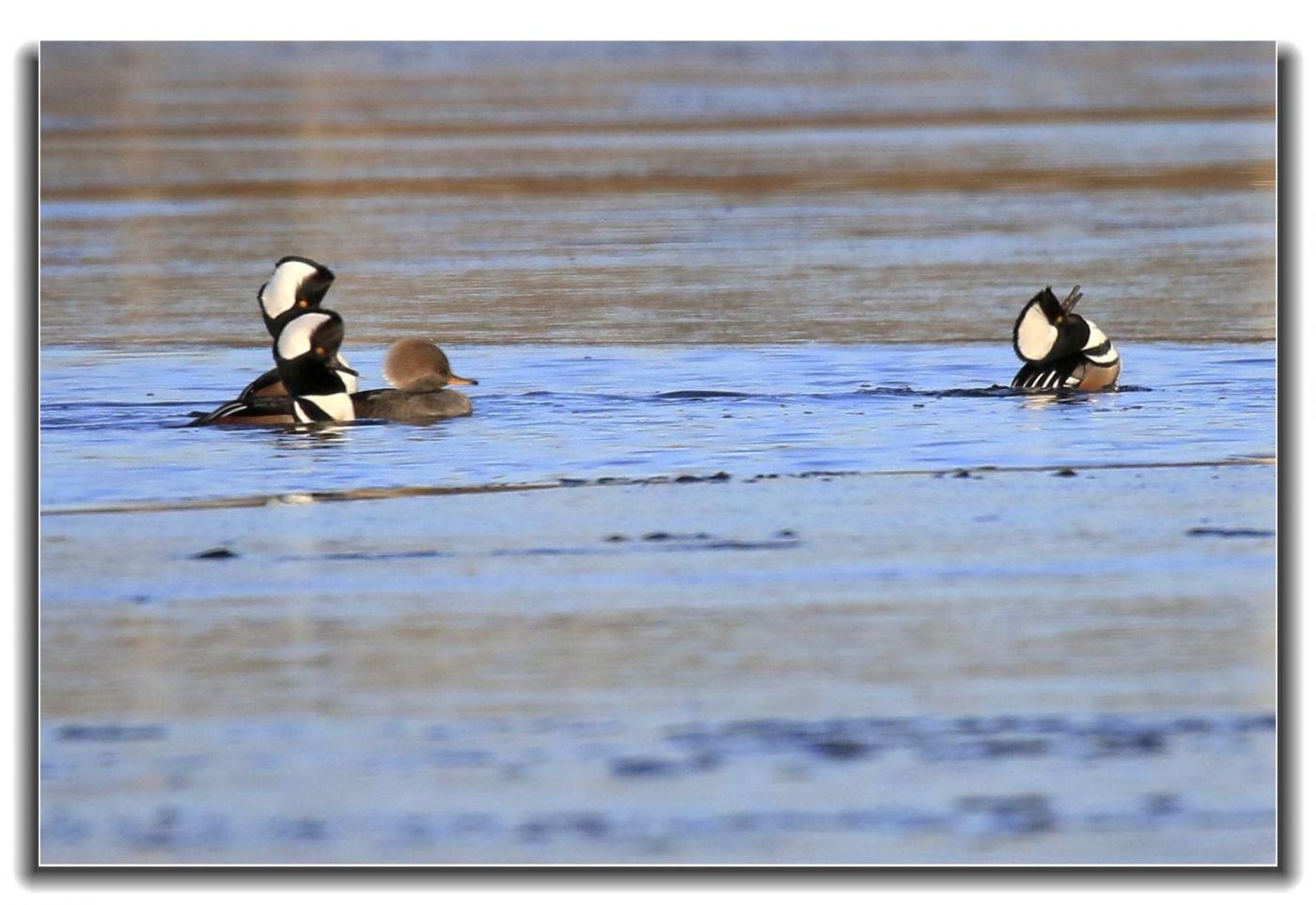 牙买加野生动物保护区拍天鹅及水鸟_图1-5
