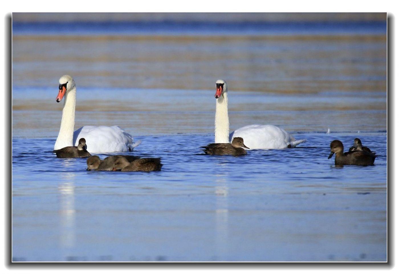 牙买加野生动物保护区拍天鹅及水鸟_图1-6