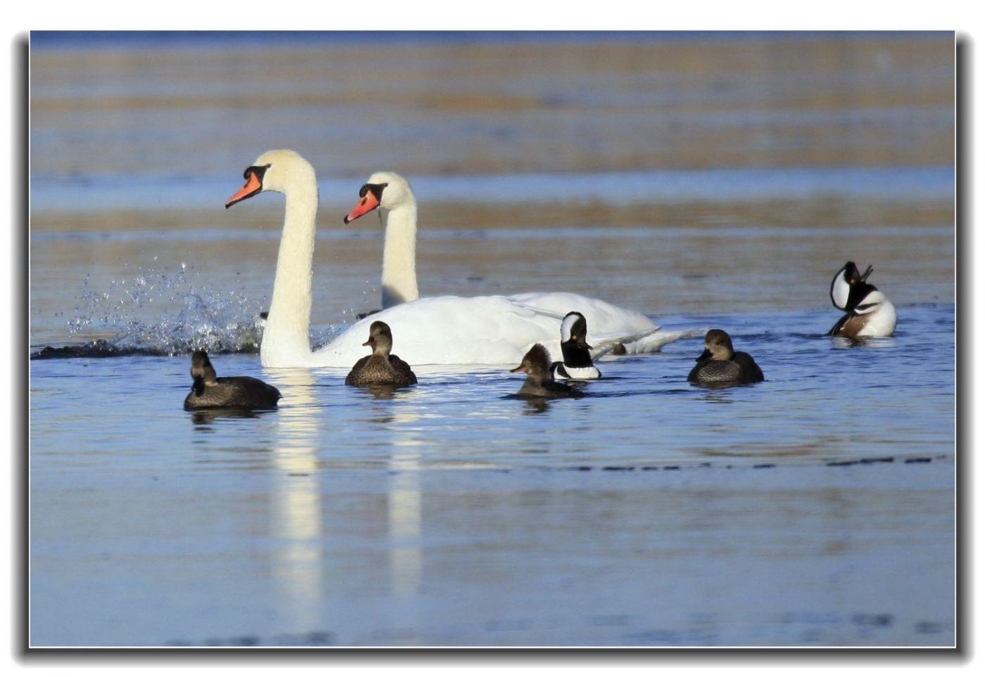 牙买加野生动物保护区拍天鹅及水鸟_图1-7