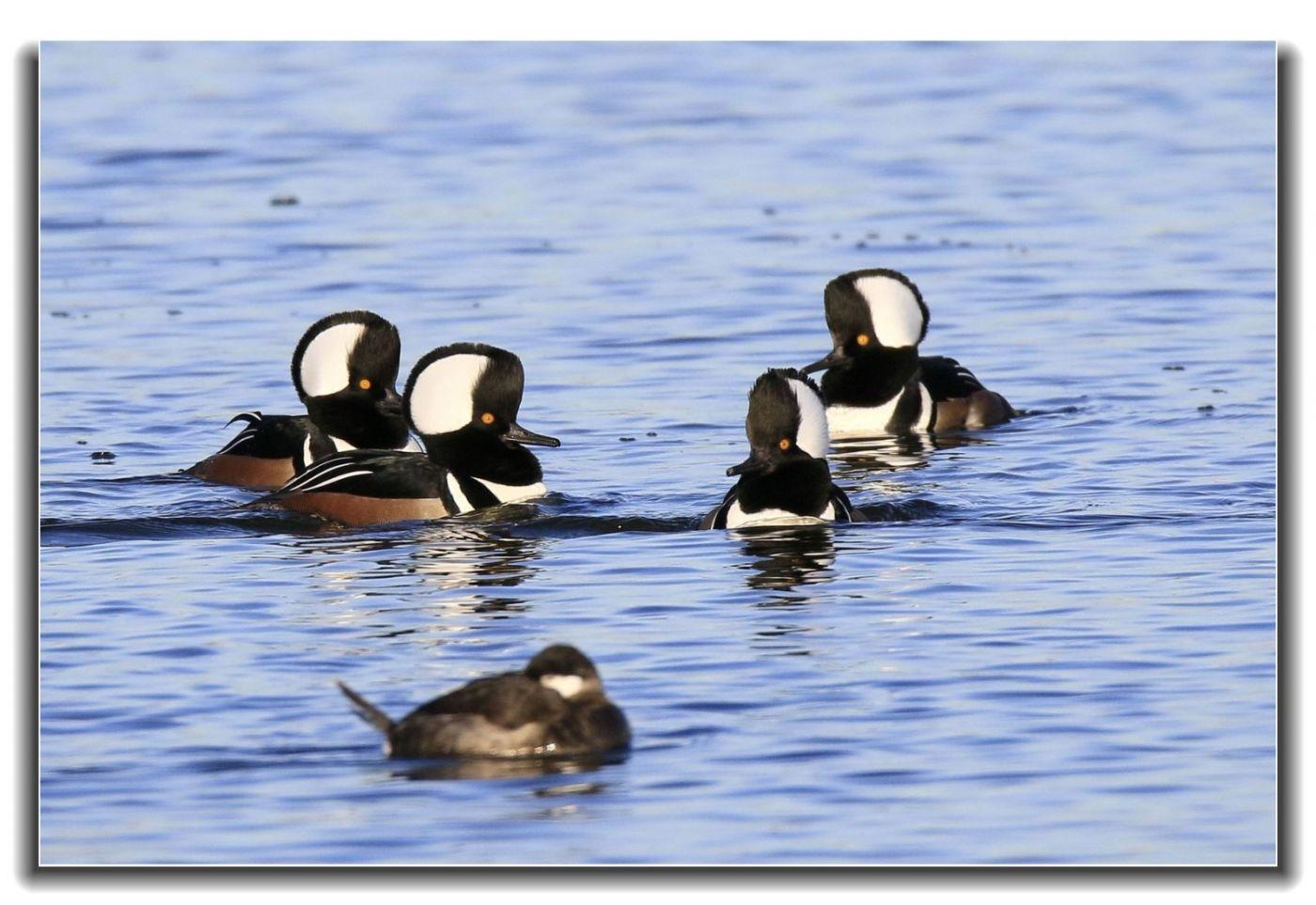 牙买加野生动物保护区拍天鹅及水鸟_图1-8