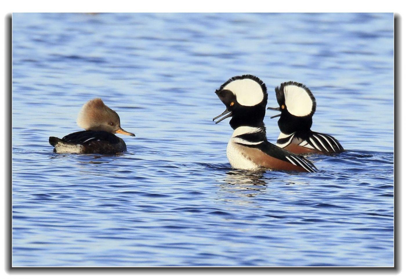 牙买加野生动物保护区拍天鹅及水鸟_图1-9