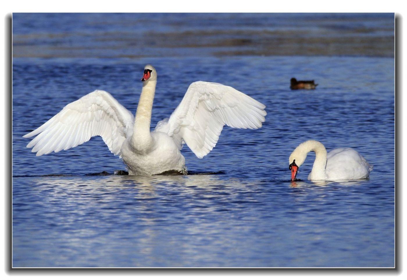 牙买加野生动物保护区拍天鹅及水鸟_图1-10