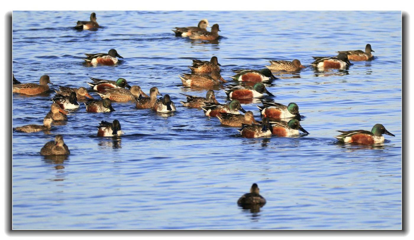 牙买加野生动物保护区拍天鹅及水鸟_图1-11