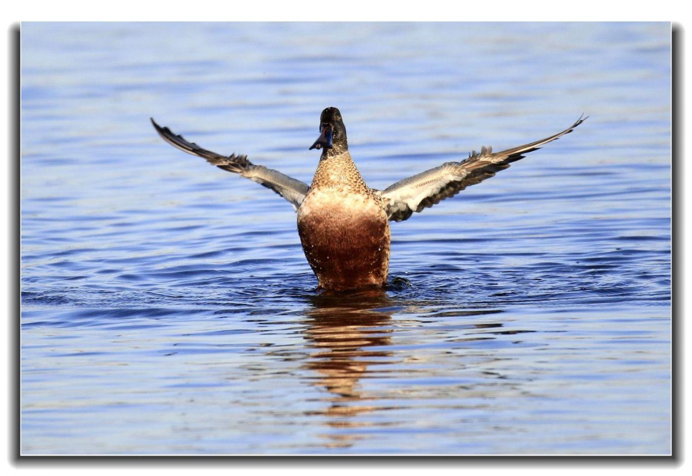 牙买加野生动物保护区拍天鹅及水鸟_图1-12