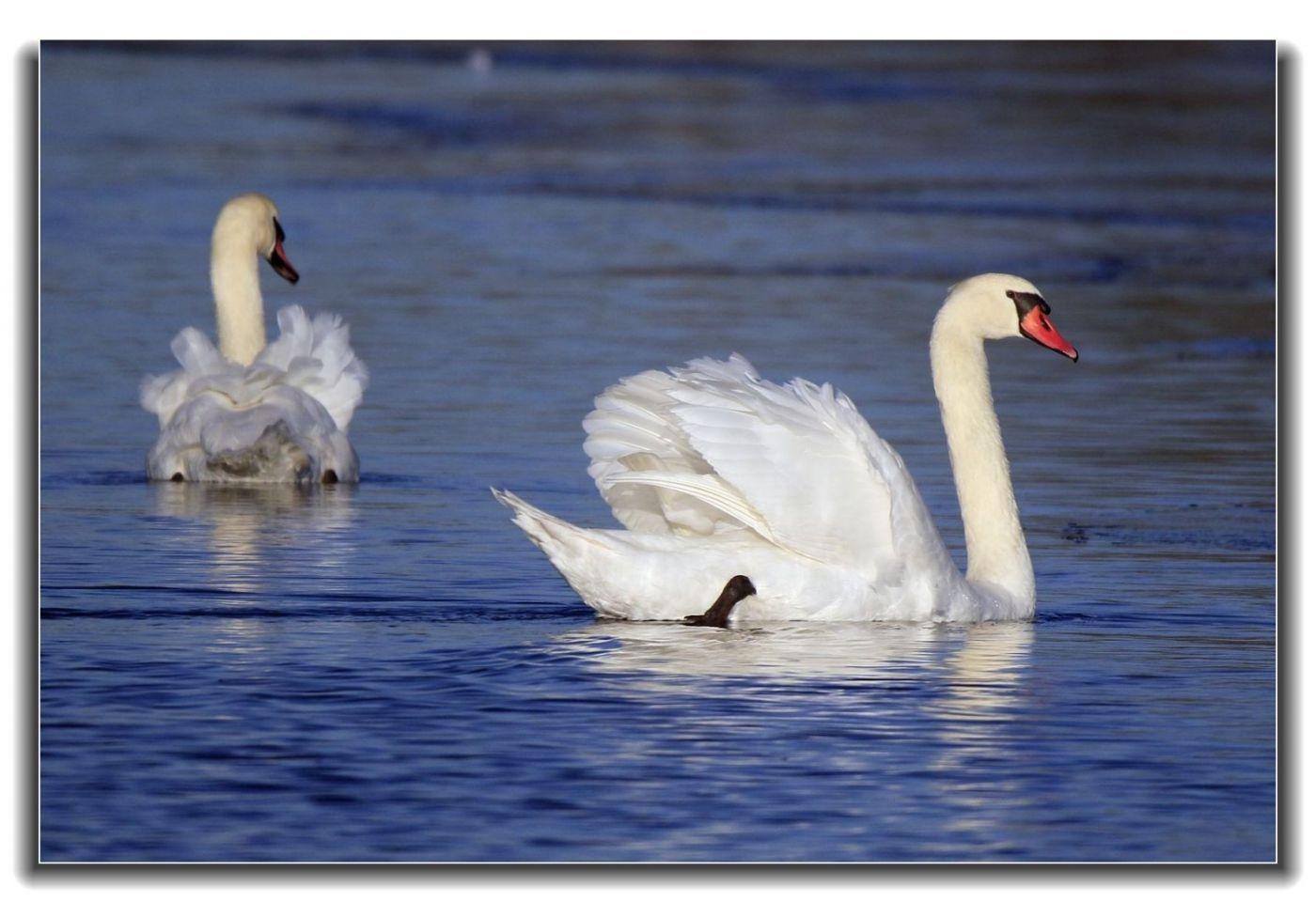 牙买加野生动物保护区拍天鹅及水鸟_图1-13