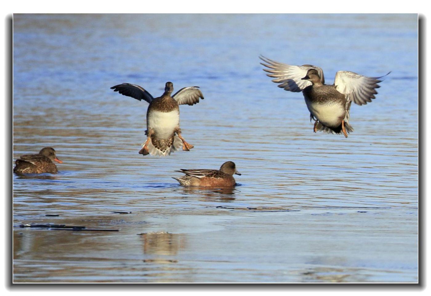 牙买加野生动物保护区拍天鹅及水鸟_图1-14