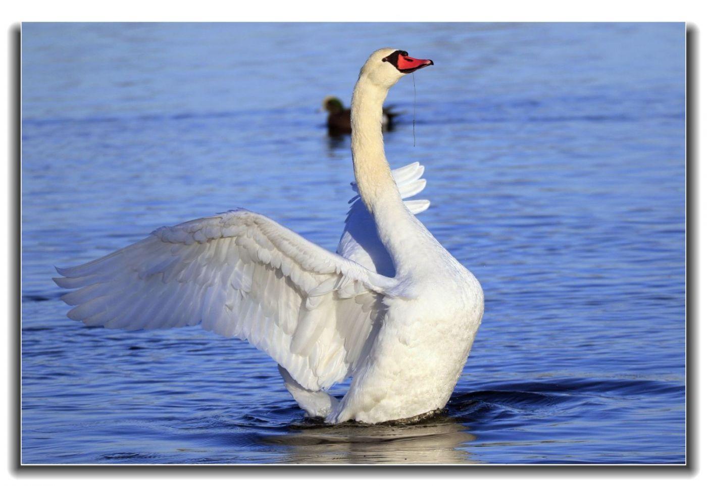 牙买加野生动物保护区拍天鹅及水鸟_图1-15