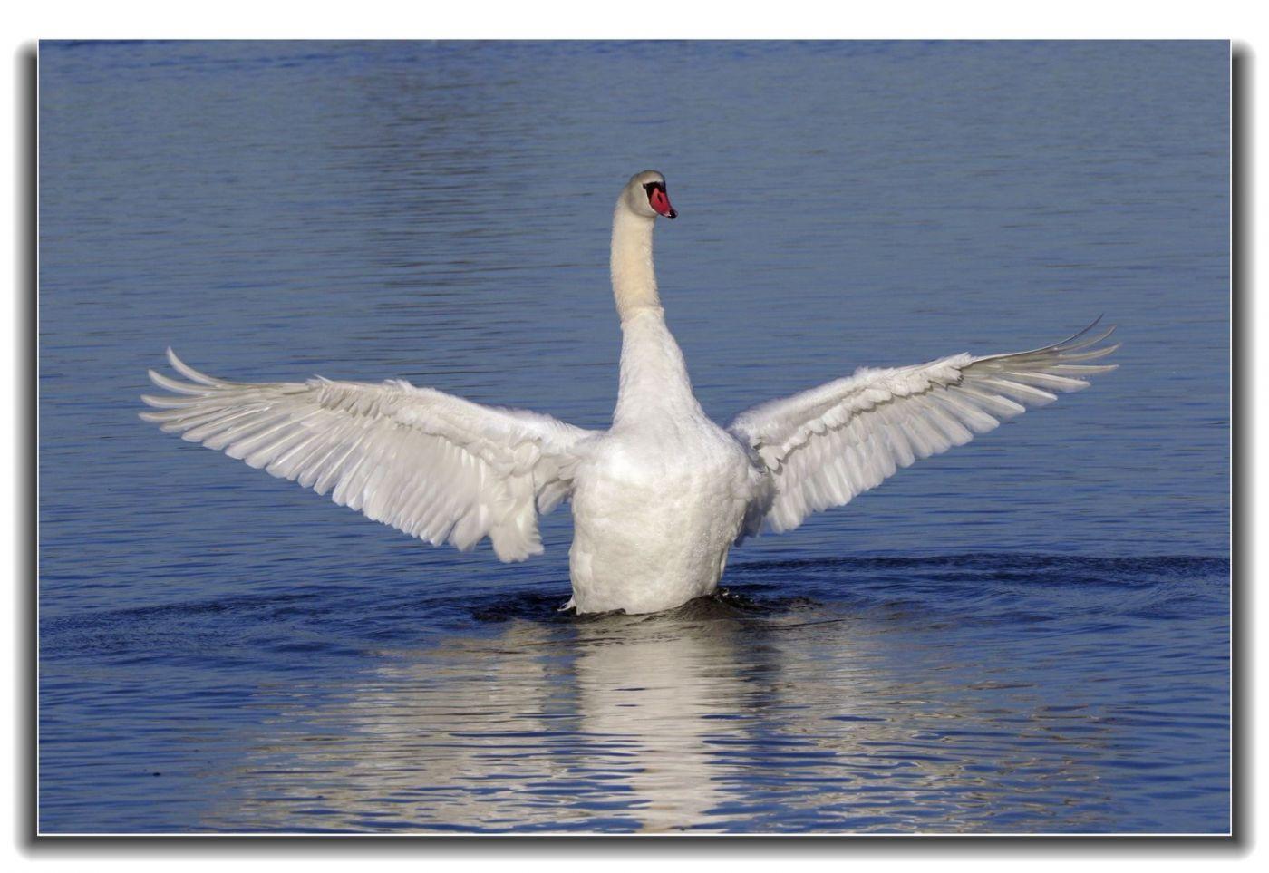 牙买加野生动物保护区拍天鹅及水鸟_图1-17