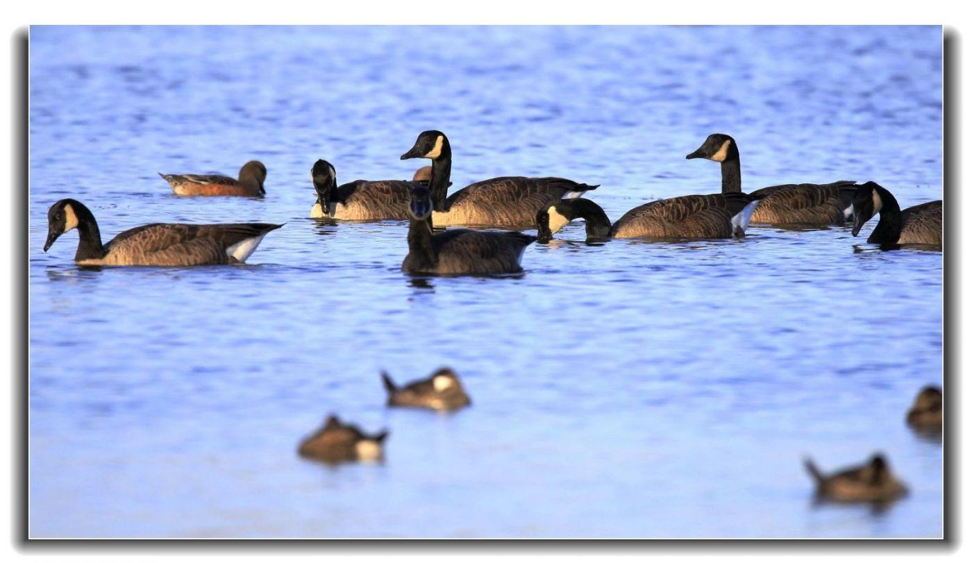 牙买加野生动物保护区拍天鹅及水鸟_图1-19