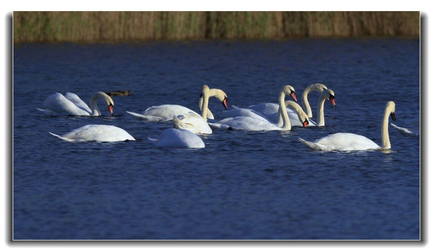 牙买加野生动物保护区拍天鹅及水鸟_图1-20