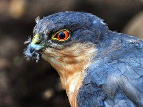 来自彼得.斯科特保护区的雀鹰