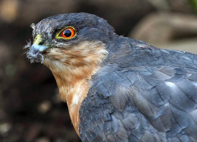 来自彼得.斯科特保护区的雀鹰_图1-2