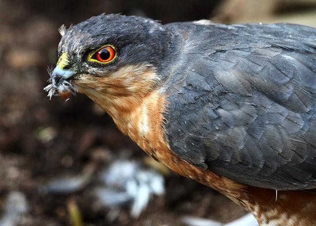 来自彼得.斯科特保护区的雀鹰_图1-5