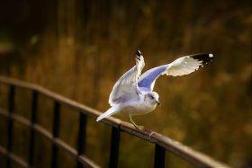【爱摄影】海鸥