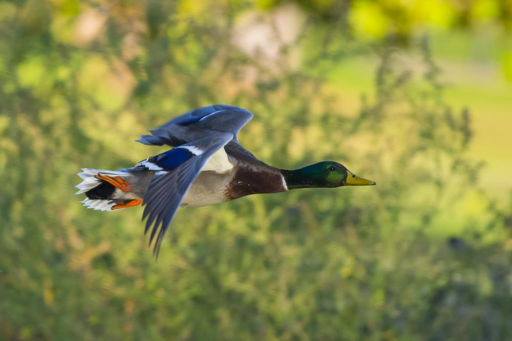 看清楚了,原来绿头鸭这么美!_图1-3
