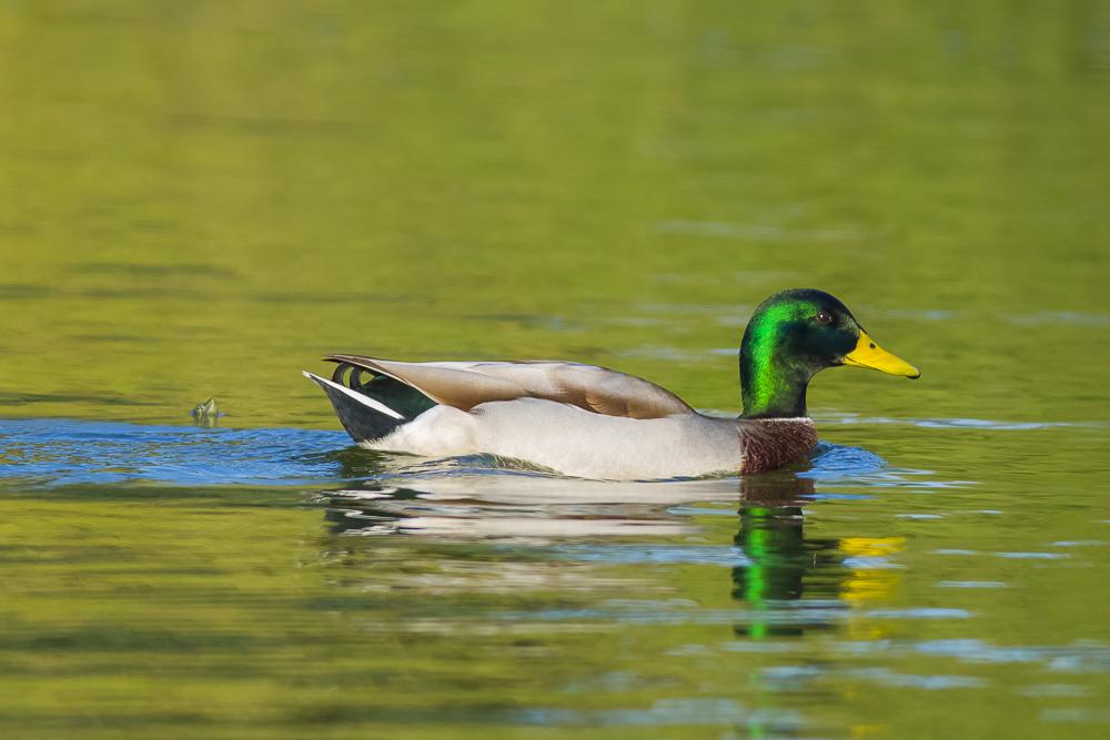 看清楚了,原来绿头鸭这么美!_图1-4