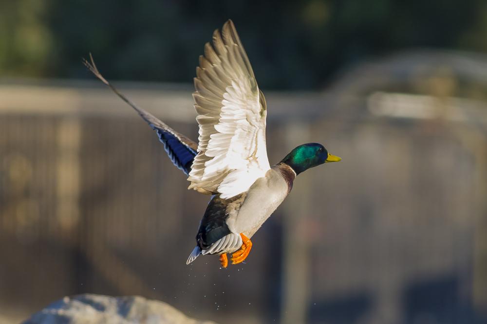 看清楚了,原来绿头鸭这么美!_图1-5