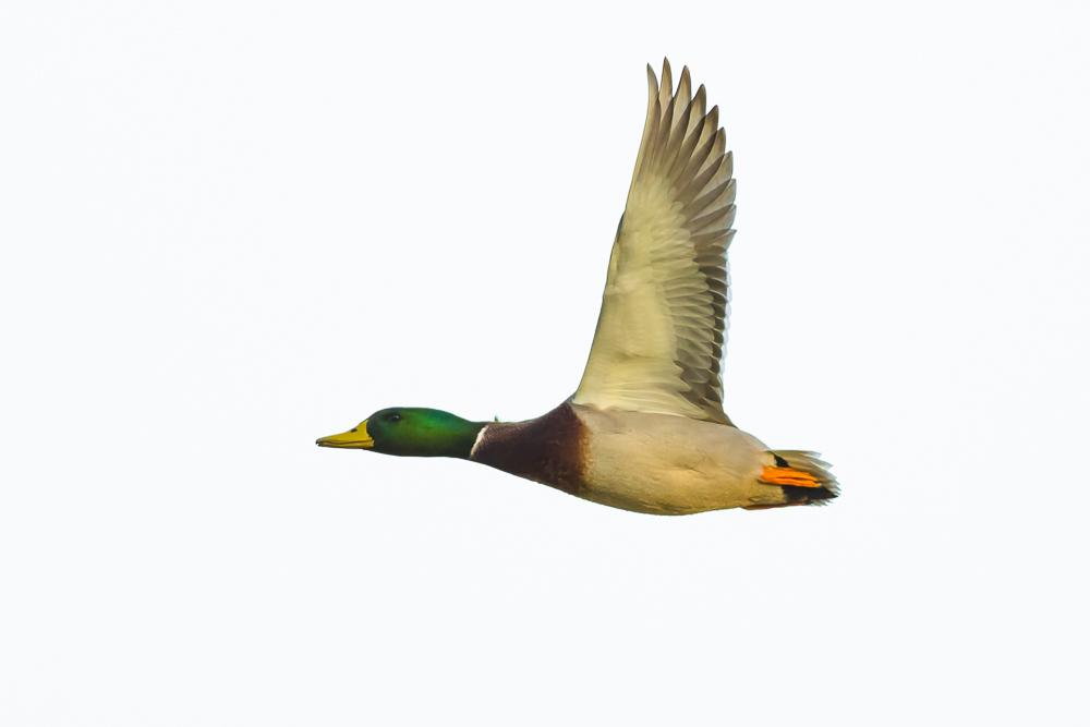 看清楚了,原来绿头鸭这么美!_图1-15