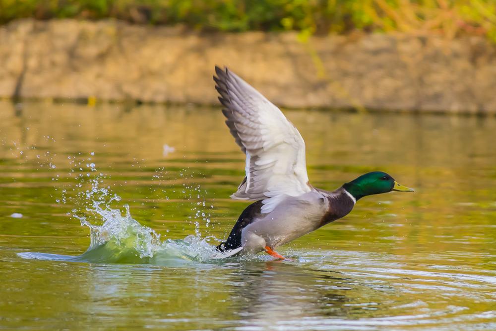看清楚了,原来绿头鸭这么美!_图1-9