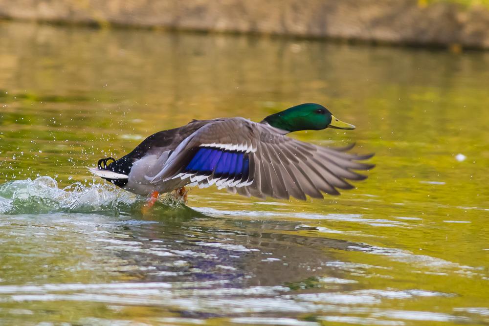 看清楚了,原来绿头鸭这么美!_图1-10
