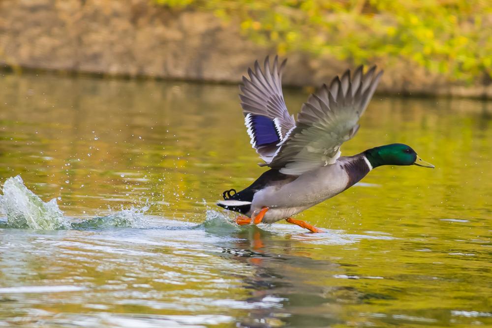 看清楚了,原来绿头鸭这么美!_图1-11