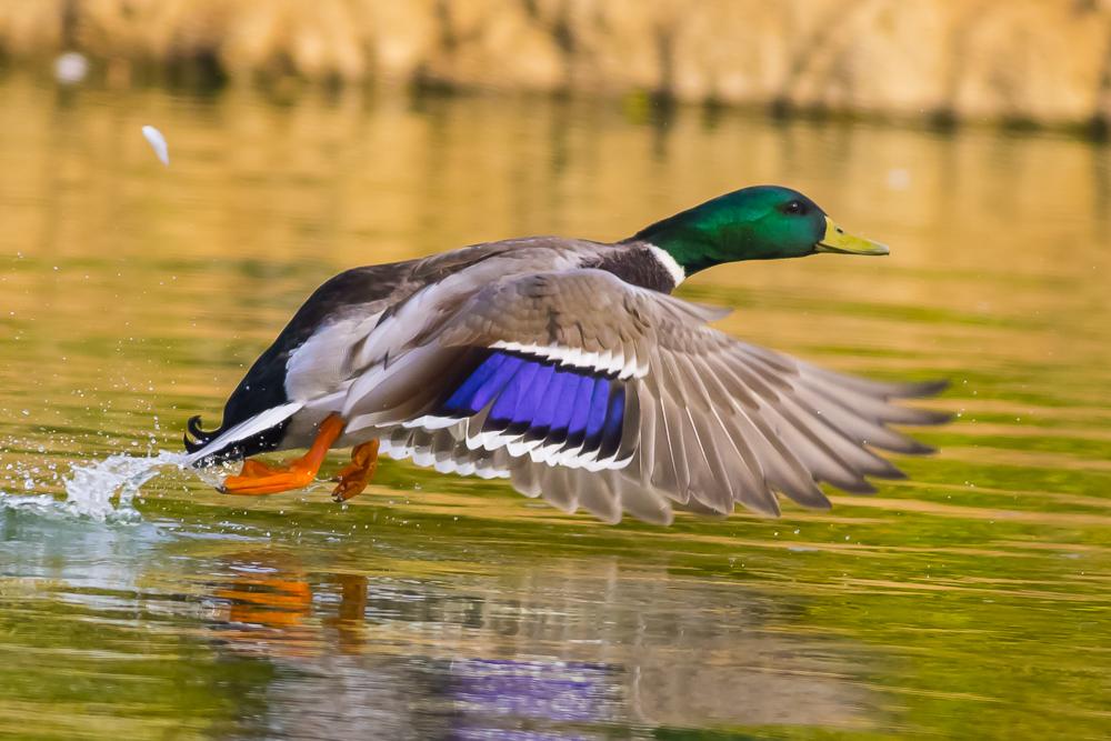 看清楚了,原来绿头鸭这么美!_图1-12